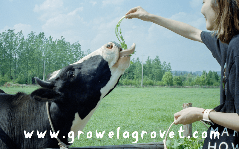 Vitamins and Minerals for Dairy Cattle