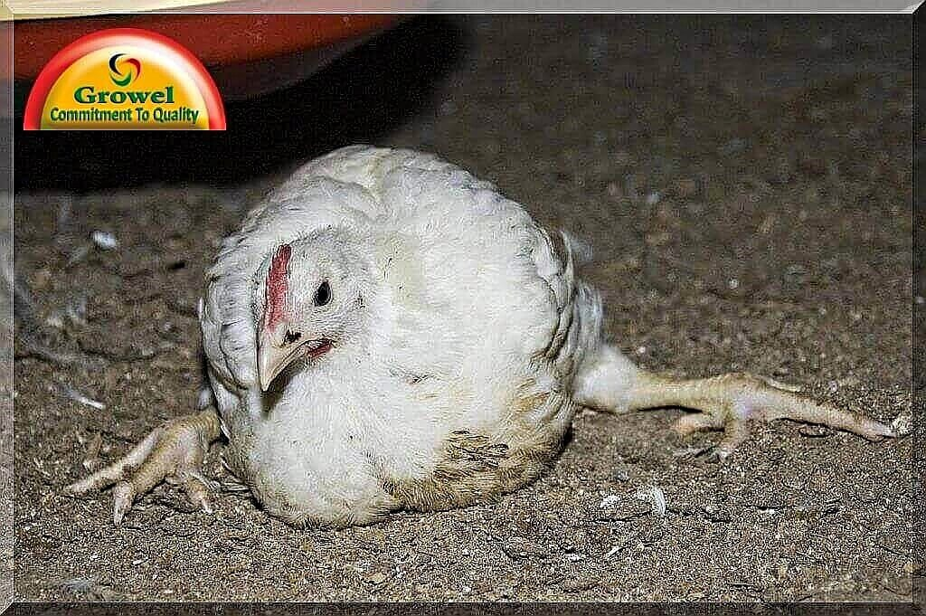 mineral deficiencies in poultry   pet poultry amp cattle