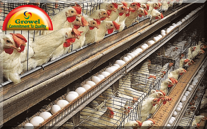 4 Tips to Raising Laying Chickens in Nigeria
