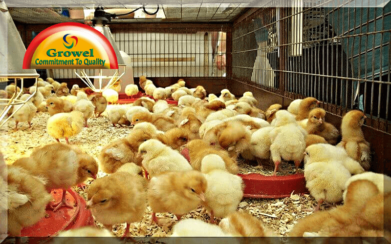 Brooding Management in Poultry
