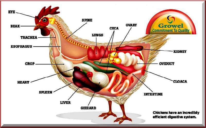 About poultry digestive system growel agrovet poultry digestive system in the domestic fowl is very simple but efficient when compared to many other species such as cattle the process of evolution ccuart Gallery