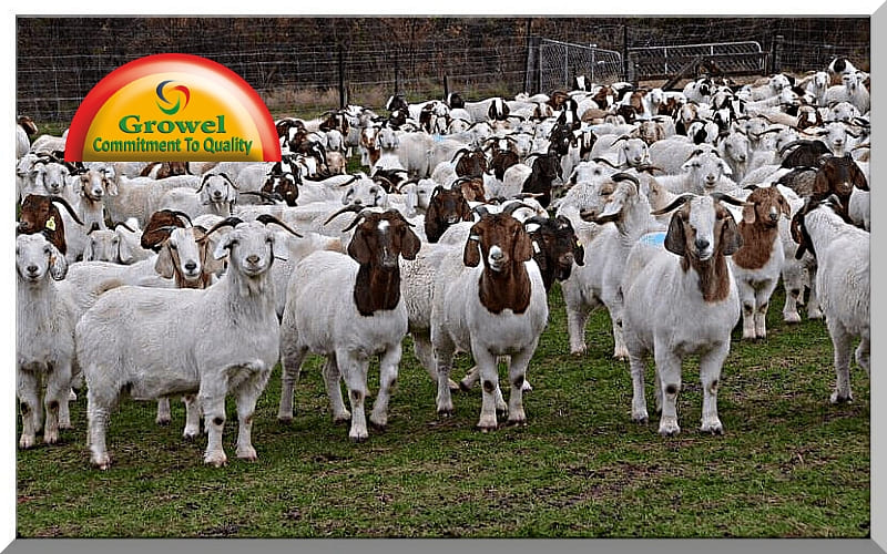 Goat Farming Business for Beginners – Growel Agrovet