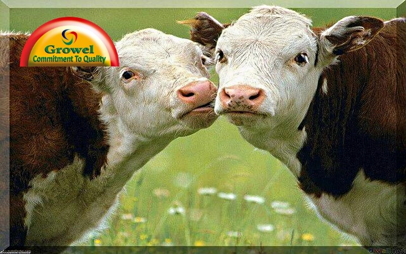 Vitamins-Minerals for Cow Fertility