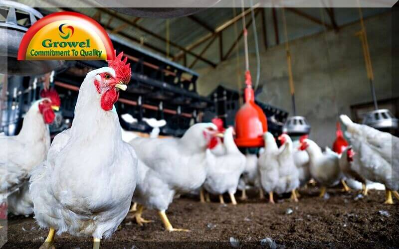 Vitamins and Minerals for Layer Poultry