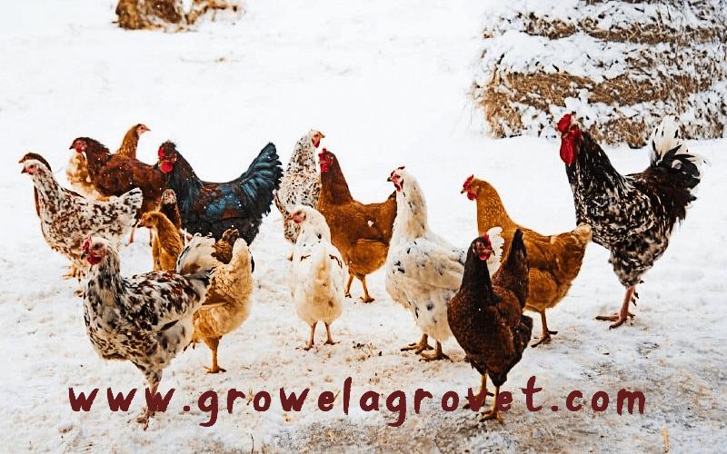जाड़े के मौसम में मुर्गीपालन