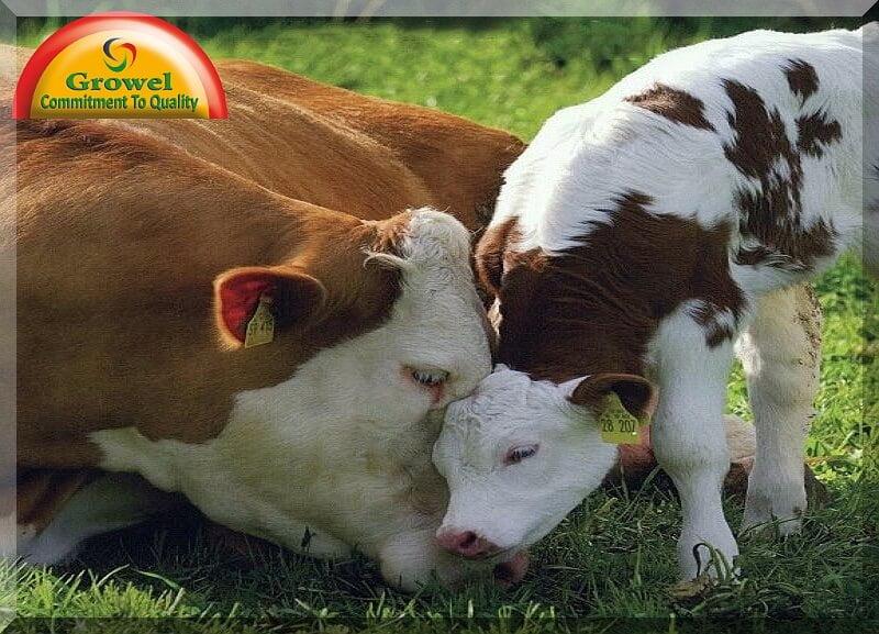 पशुओं के सन्तुलित आहार