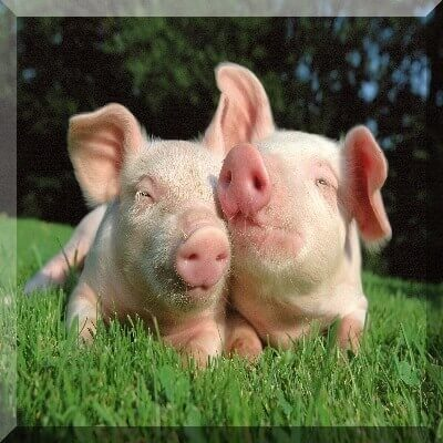 pig farming business plan sample A business plan for pig farming is not that different from abusiness plan for any other opportunity.