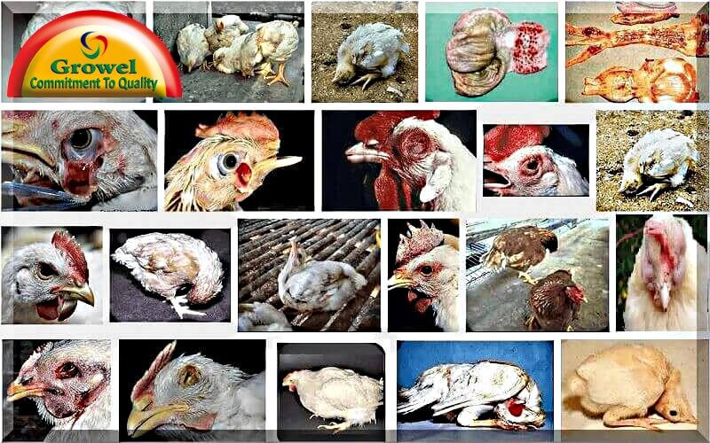Poultry-Diseases