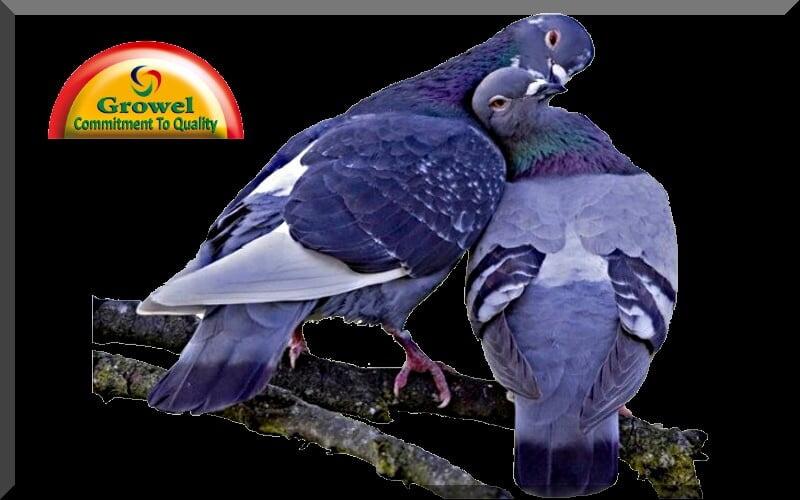 Pigeon Caring & Keeping – Growel Agrovet