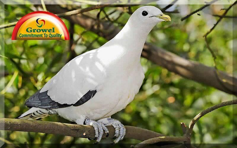 pigeon healthcare