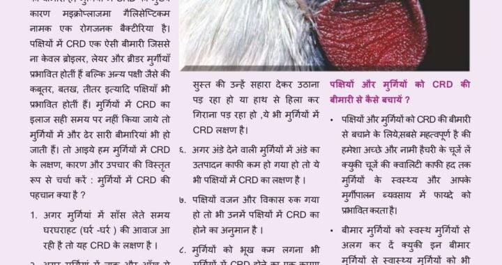 मुर्गियों में CRD के लक्षण,कारण और उपचार